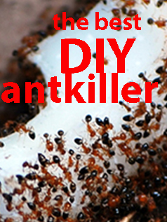 the best diy antkiller